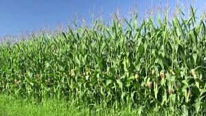Maize Production Estimated to Rise by Over 26%
