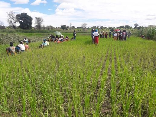 Sorghum, Rice Transforming Lives