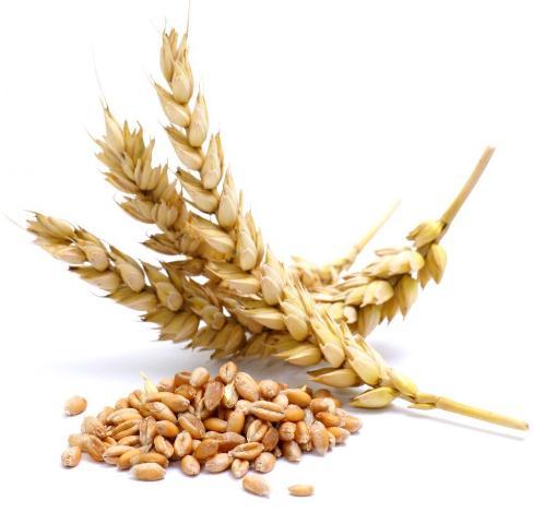 Focus On Dwindling Wheat Farming