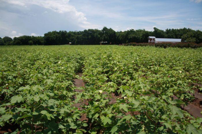 Malawi Cotton Can Create 40,000 Jobs