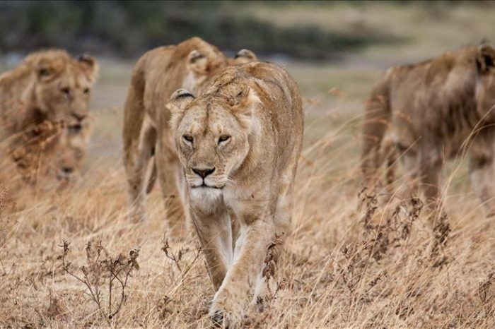 Lions Escape from S.Africa Game Park
