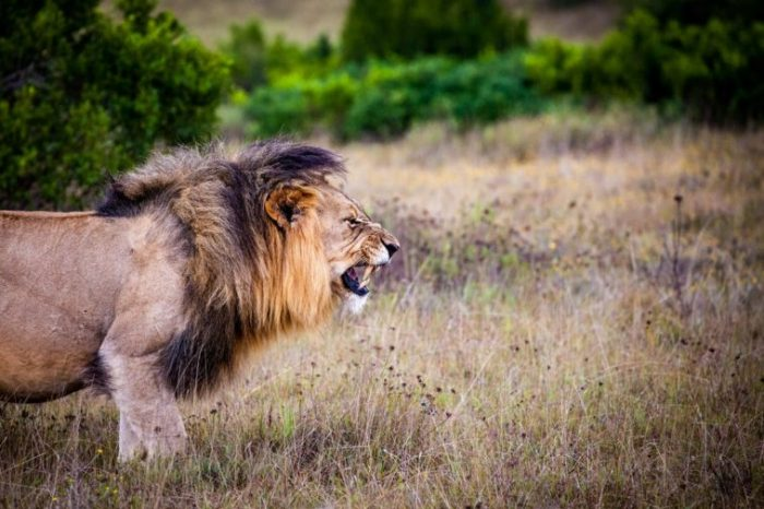 Life Lessons to Learn From  Life of a Lion